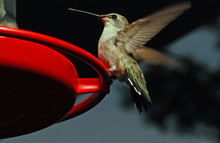 Female Ruby Throated Hummingbird Perched On Feeder With Dark Background