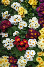 Colorful Flowers Of Primrose (Primula).