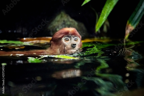 Cub monkeys Nasalis larvatus playing in the water and in the trees Wallpaper Mural