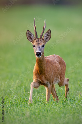 Fotografie, Obraz Curious roe deer, capreolus capreolus, buck coming closer on a green hay field in summer with green blurred background
