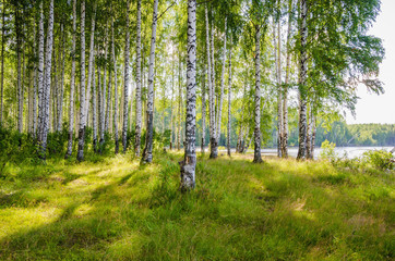 Fototapeta Brzoza Birch grove on the river in the summer on a Sunny day, the edge of the forest with grass.