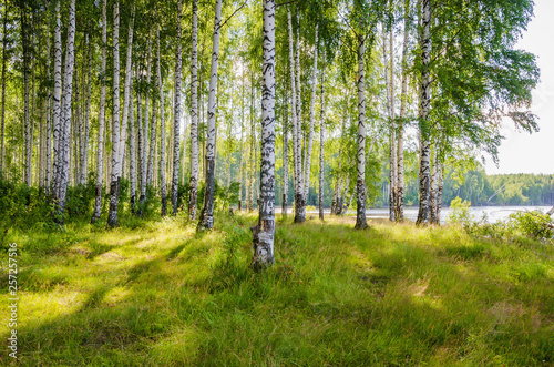 Cadres-photo bureau Bosquet de bouleaux Birch grove on the river in the summer on a Sunny day, the edge of the forest with grass.
