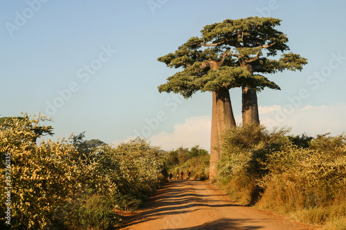 In de dag Baobab Grandidier's baobabs on the edge of a sand path