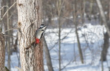 Great Spotted Woodpecker On The Tree.