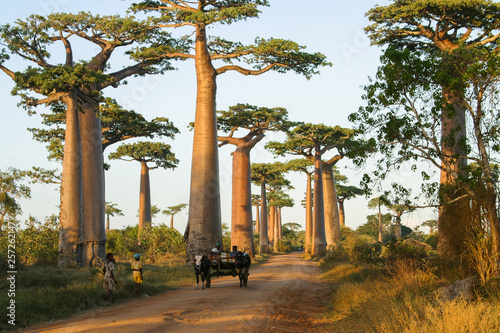 In de dag Baobab famous Baobab Avenue in Madagascar with zebu cart