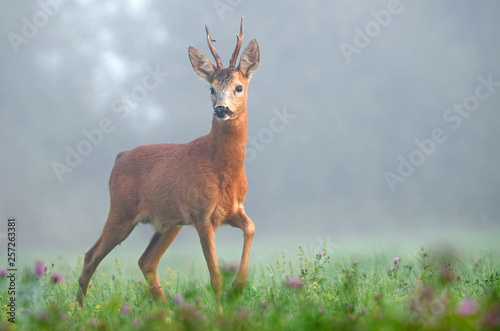 Wild roe deer in the morning fog