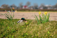 Duck Sitting In The Grass Surr...