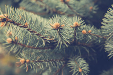 Close Up Spruce Tree Branches....