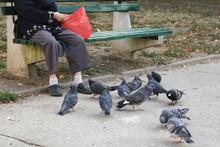 Elderly Woman Feeding Birds, Mostly Feral Pigeons In Park