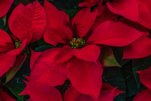 Red Poinsettias Background
