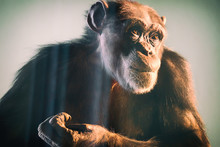Portrait Of A Chimpanzee With ...