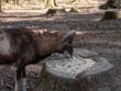 Goat eats