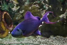 Red-toothed Triggerfish (Odonu...
