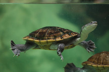 Roti Island Snake-necked Turtl...