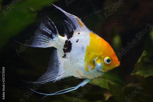Angelfish (Pterophyllum scalare) Canvas Print