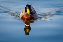 Mallard Ducks (Anas Platyrhync...