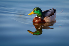 Mallard Ducks (Anas Platyrhynchos) Relaxing In Blue Pond, Stromovka Park, Prague