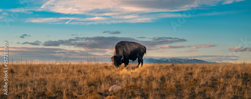 Cadres-photo bureau Bison Buffalo Panorama Wildlife