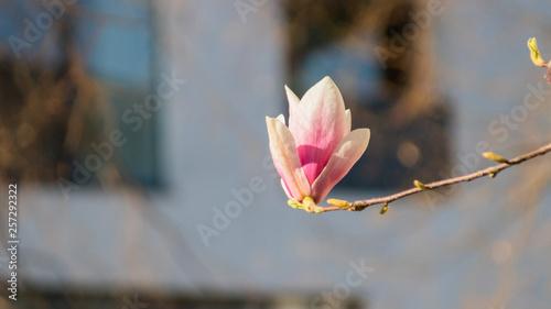 Garden Poster Lotus flower Magnolia flowers