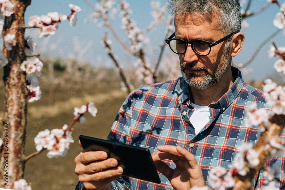 Fototapety, obrazy: examining blooming trees in orchard using tablet
