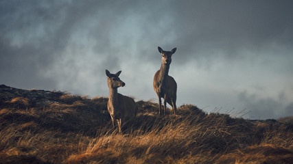 Two deer in grassy field at...