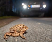 Ein Paar Erdkröten Droht, Von...