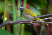 Black-headed Saltator - Saltator Atriceps Is A Seedeating Bird, Placed In The Cardinal Family Cardinalidae, Sometimes Tanagers Thraupidae, Breeds From Mexico To Eastern Panama