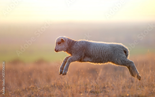 Foto op Canvas Schapen cute lambs running on field in spring