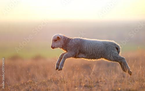 Keuken foto achterwand Schapen cute lambs running on field in spring