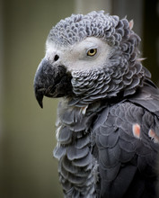 African Grey Parrot Named Stan...