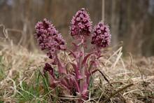 Wiosenne Kwiaty - Lepiężnik Różowy (Petasites Hybridus)