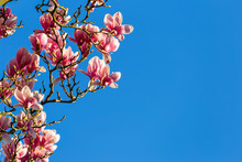 Full Lilac Blossoms Of Saucer Magnolia Aka Tulip Tree Against Deep Blue Sky In Late March