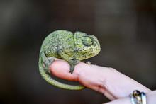 Chameleon On Hand, Photo As Ba...