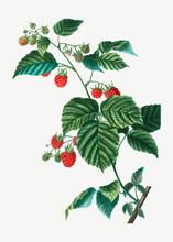 Raspberry Branch