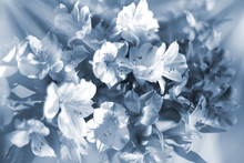 Beautiful Floral Background In Light Blue And White Soft Colors, Lily Flowers In Sun Rays Closeup, Blurred Bokeh Delicate Flower Composition, Festive Art Design, Fantasy Decorative Lilies Pattern