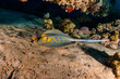 Blue spotted stingray On the seabed in the Red Sea