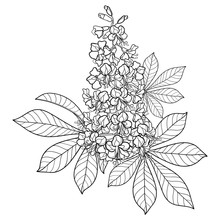 Contour Buckeye Or Horse Chestnut Or Aesculus Flower Bunch With Ornate Leaf In Black Isolated On White Background.