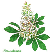 Outline Buckeye Or Horse Chestnut Or Aesculus Flower Bunch In Pastel White With Ornate Green Leaf Isolated On White Background.