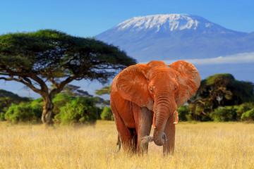 Fototapeta Zwierzęta Elephant in National park of Kenya