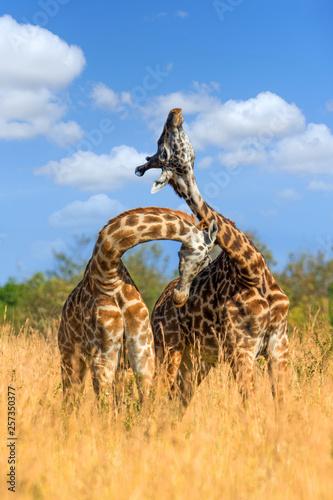 Fotomural  Giraffe in National park of Kenya