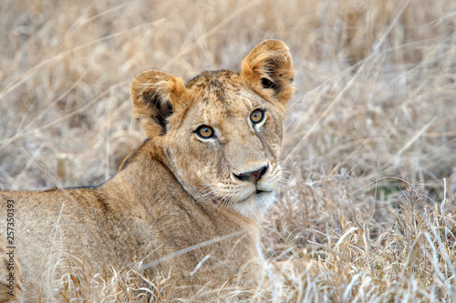 Fototapety, obrazy: Lion in National park of Kenya