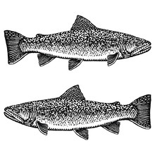 Brook Trout Illustration In A Rough Woodcut Style