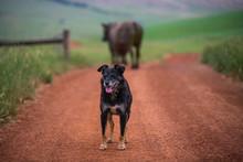 Angus Cattle Grazing In Austrlia