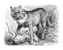 Gray Wolf (Canis Lupus) / Vintage Illustration From Meyers Konversations-Lexikon 1897