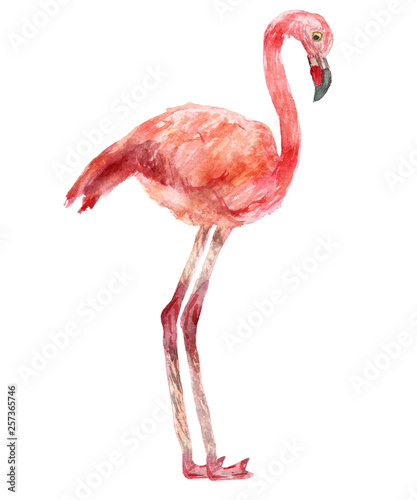 Watercolor hand painted illustration pink flamingo wild bird isolated on the white background