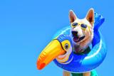 Fototapeta Zwierzęta - happy dog with sunglasses