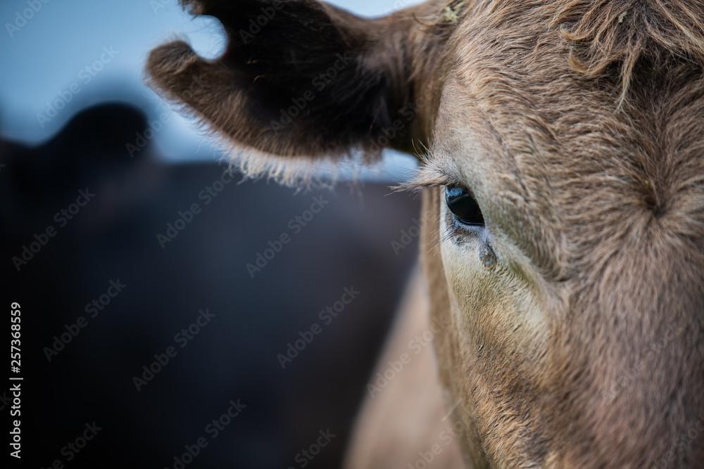 Fototapeta Beef cattle and cows in Australia