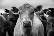 Beef Cattle And Cows In Australia