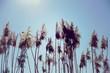 canvas print picture - Schilf im Sonnenlicht