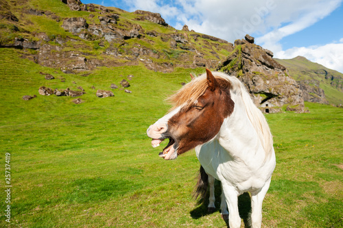 Fotografiet Neighing horse on the green field in Iceland